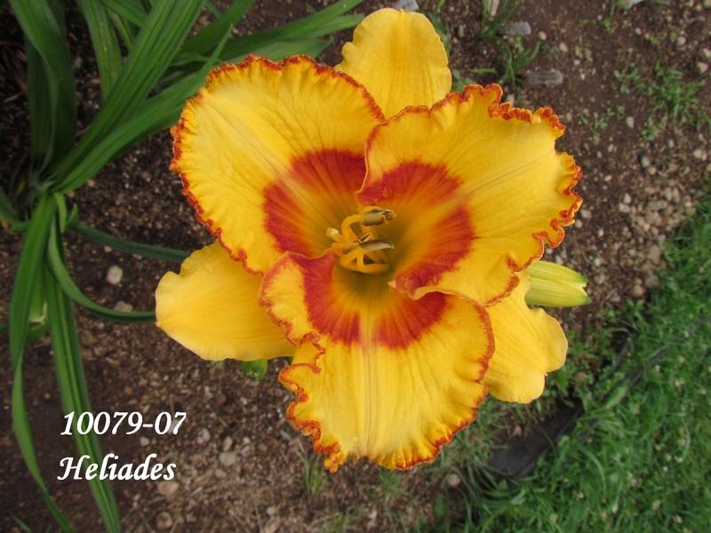 Mes hybrides: semis 2010 encore au jardin. 10079-10