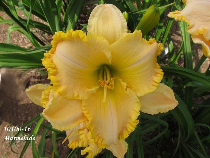 Mes hybrides: semis 2010 encore au jardin. 10100-11