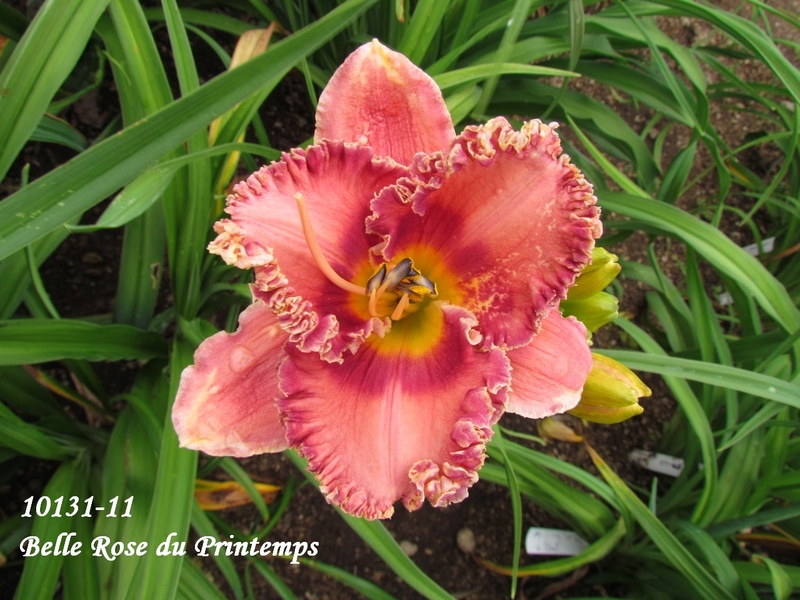 Mes hybrides: semis 2010 encore au jardin. 10131-10