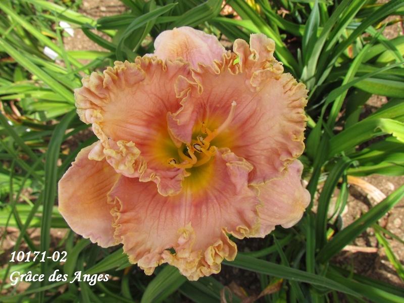 Mes hybrides: semis 2010 encore au jardin. 10171-10