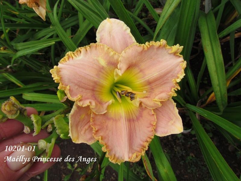 Mes hybrides: semis 2010 encore au jardin. 10201-10