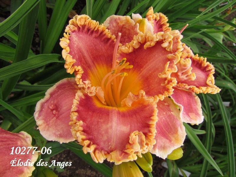 Mes hybrides: semis 2010 encore au jardin. 10277-10