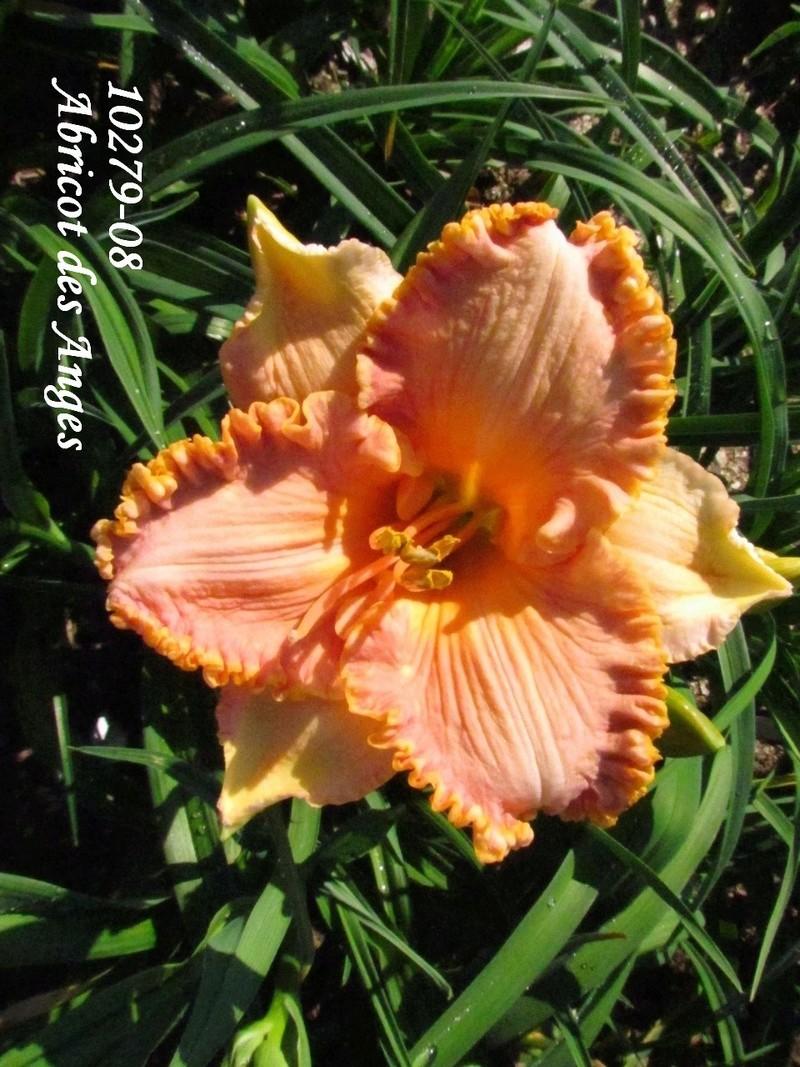 Mes hybrides: semis 2010 encore au jardin. 10279-10