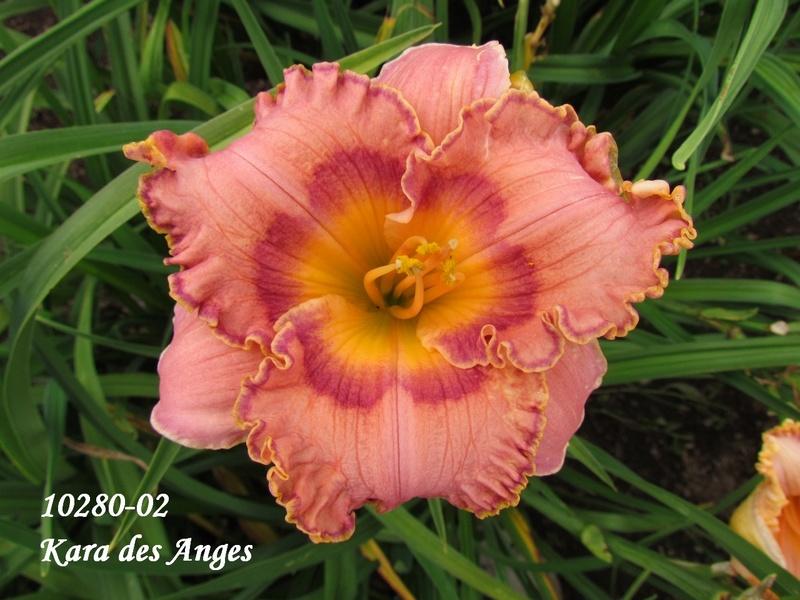 Mes hybrides: semis 2010 encore au jardin. 10280-10