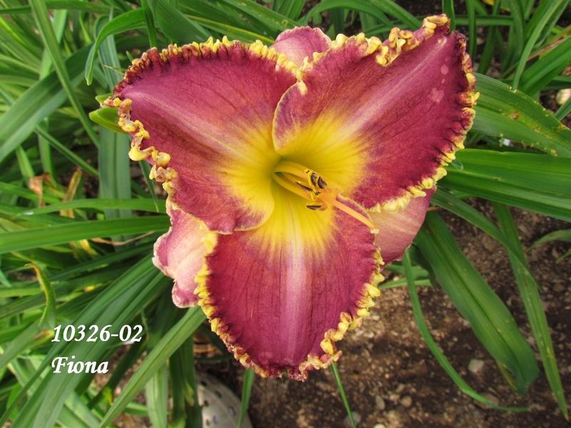 Mes hybrides: semis 2010 encore au jardin. 10326-10