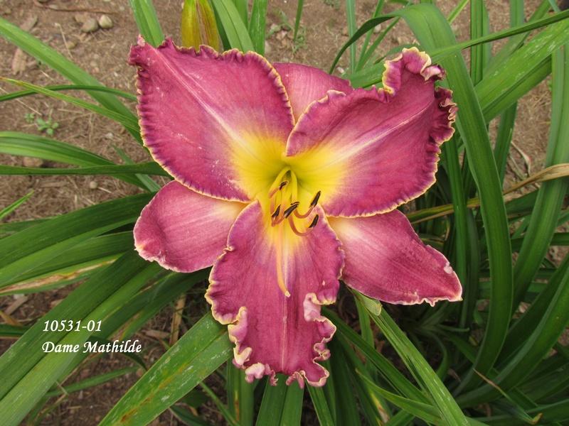 Mes hybrides: semis 2010 encore au jardin. 10531-10
