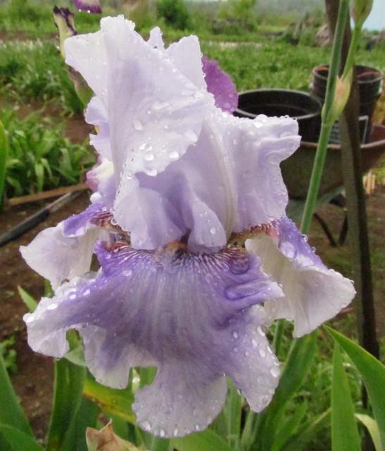 Résultats de mes hybridations d'Iris de 2011 à ... 1101-019