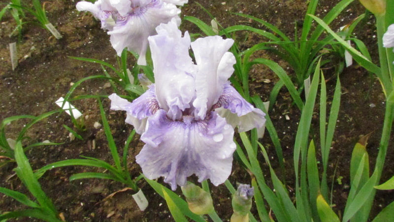 Résultats de mes hybridations d'Iris de 2011 à ... 1101-023