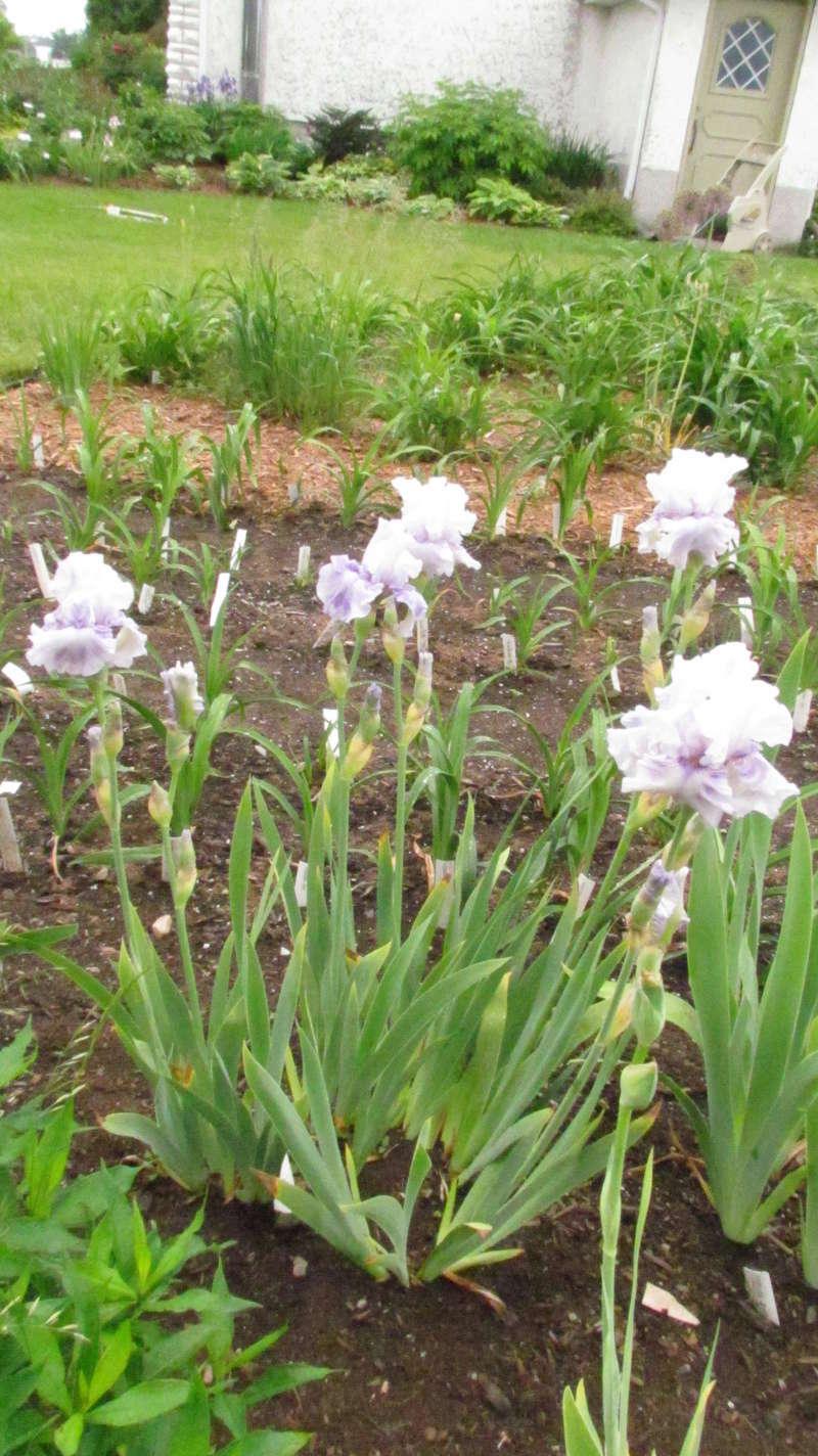 Résultats de mes hybridations d'Iris de 2011 à ... 1101-026