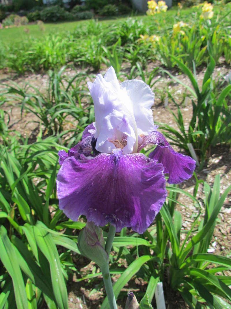 Résultats de mes hybridations d'Iris de 2011 à ... 1101-028