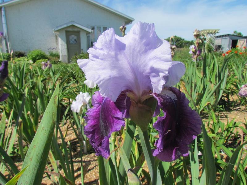 Résultats de mes hybridations d'Iris de 2011 à ... 1101-122