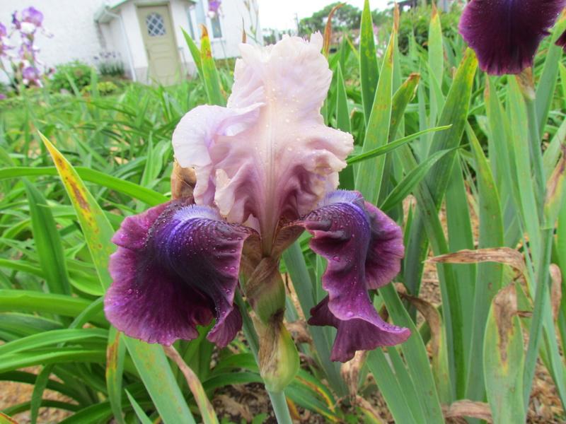 Résultats de mes hybridations d'Iris de 2011 à ... 1101-123