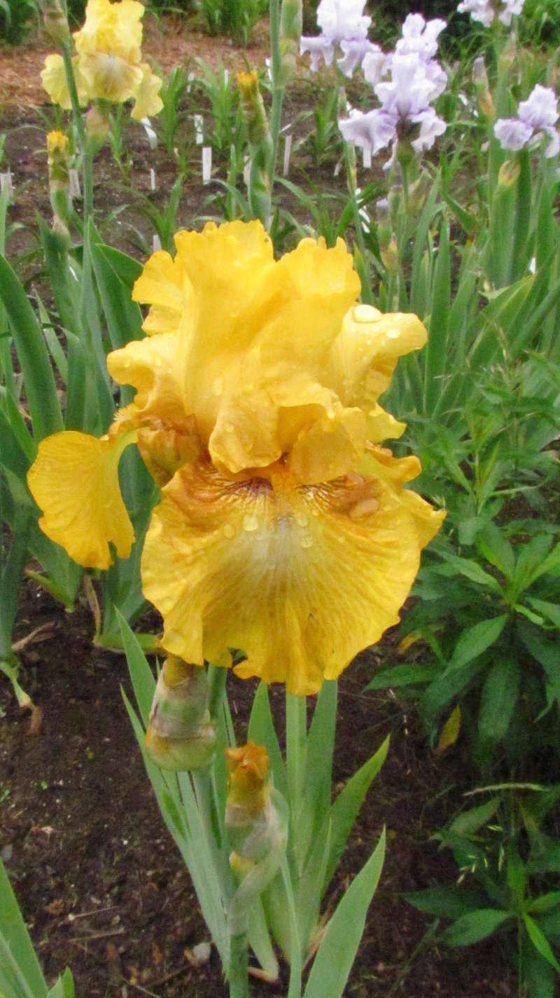 Résultats de mes hybridations d'Iris de 2011 à ... 1101-215