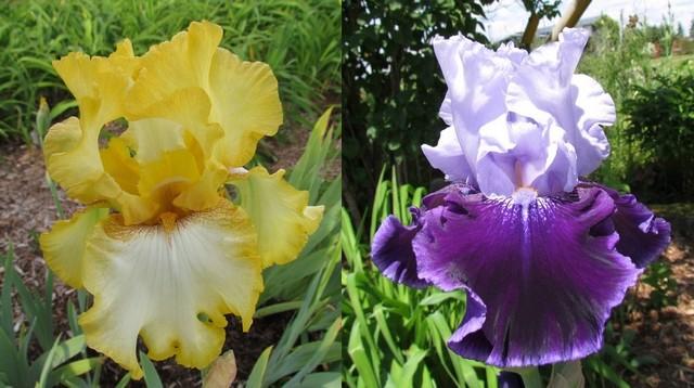 Résultats de mes hybridations d'Iris de 2011 à ... 110111