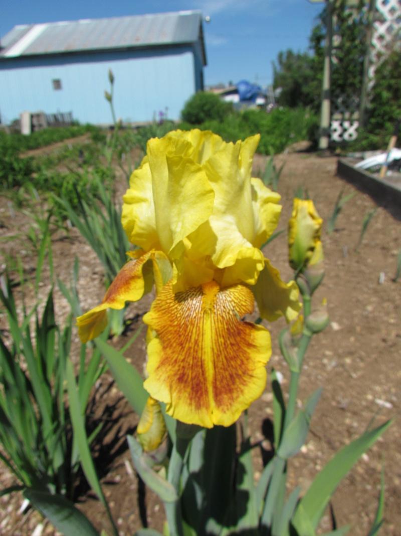 Résultats de mes hybridations d'Iris de 2011 à ... 1201-010