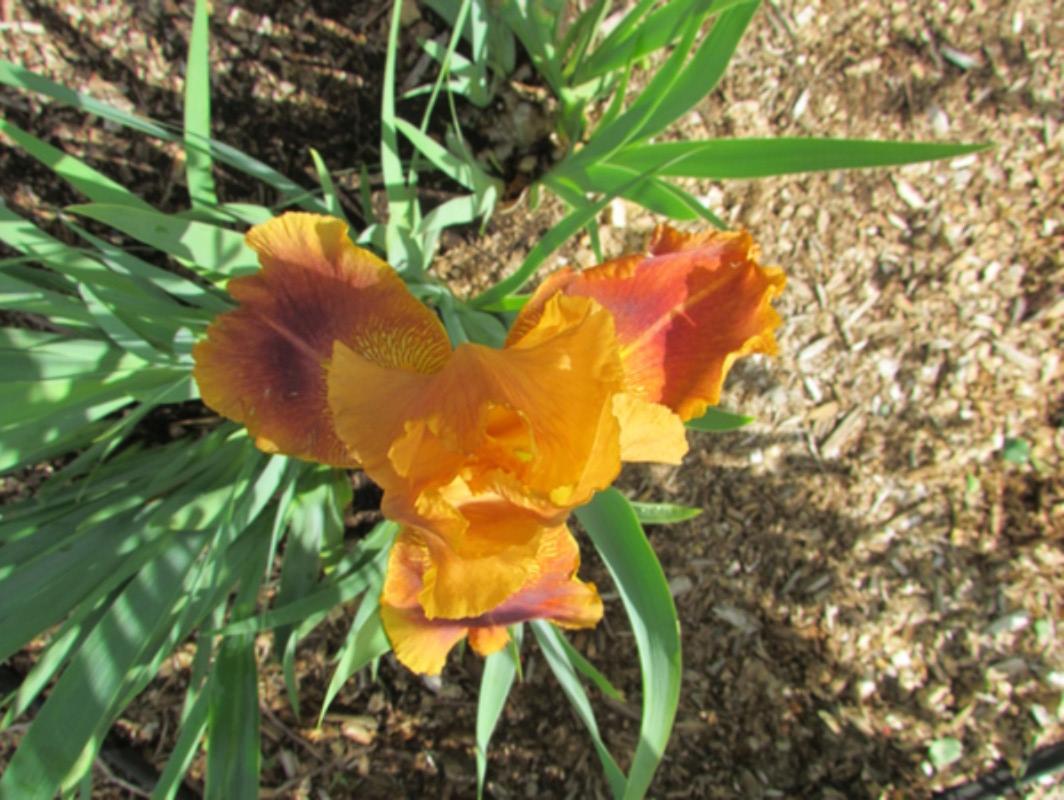 Résultats de mes hybridations d'Iris de 2011 à ... 1201-011