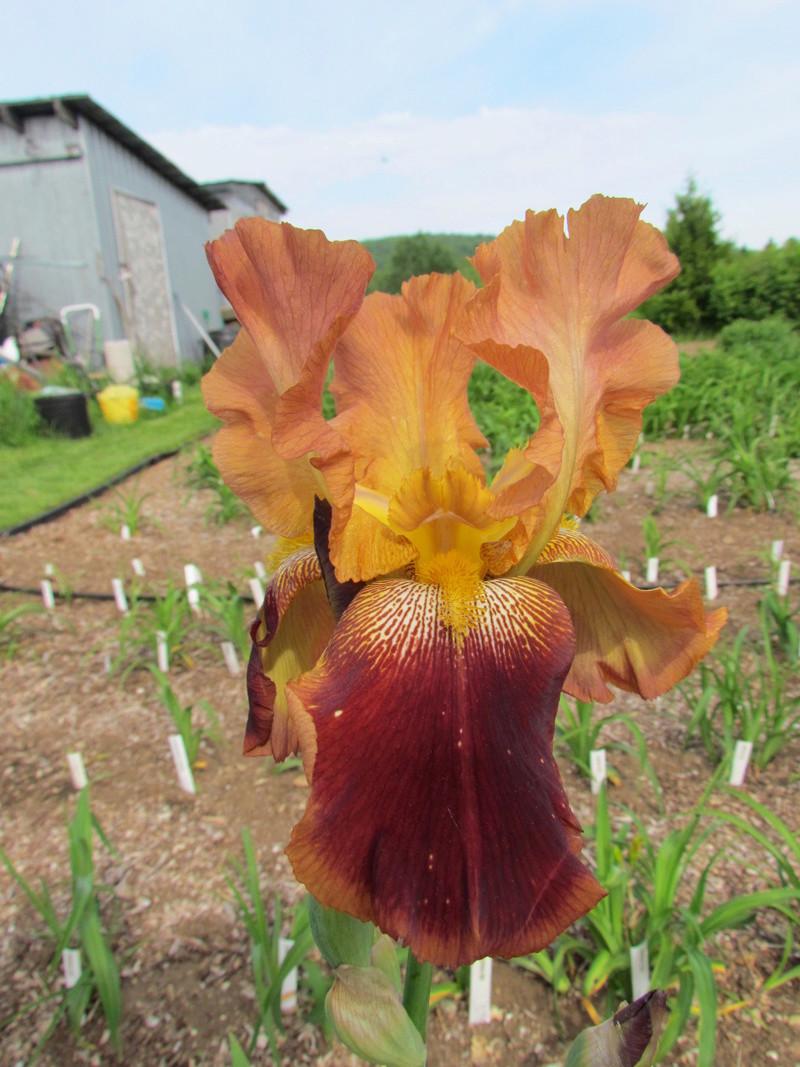 Résultats de mes hybridations d'Iris de 2011 à ... 1201-014