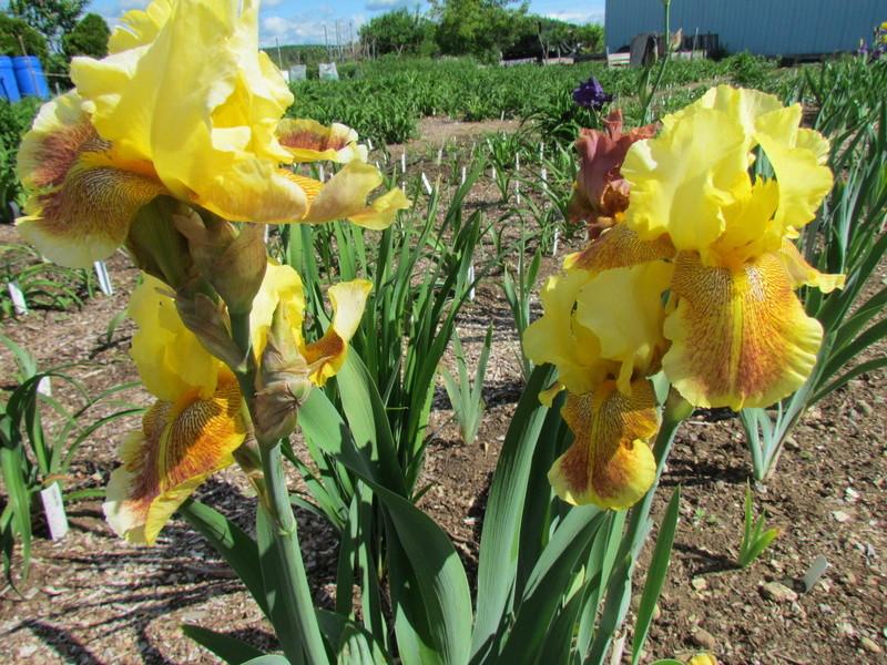 Résultats de mes hybridations d'Iris de 2011 à ... 1201-015