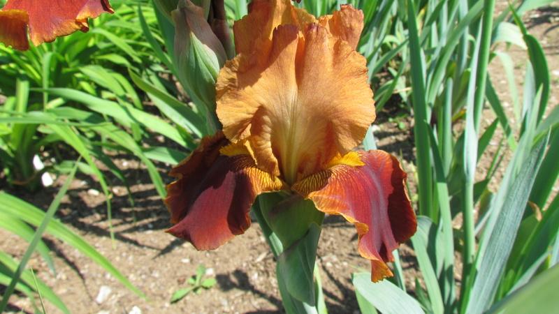Résultats de mes hybridations d'Iris de 2011 à ... 1201-110