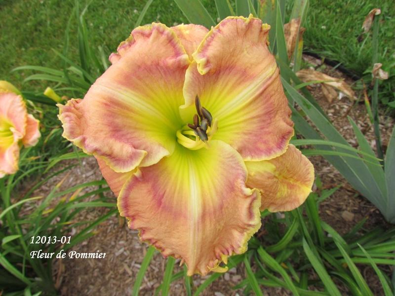 Mes hybrides: semis 2012 encore au jardin 12013-10