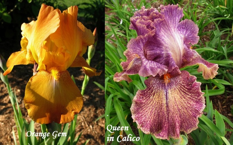 Résultats de mes hybridations d'Iris de 2011 à ... 1201_i10