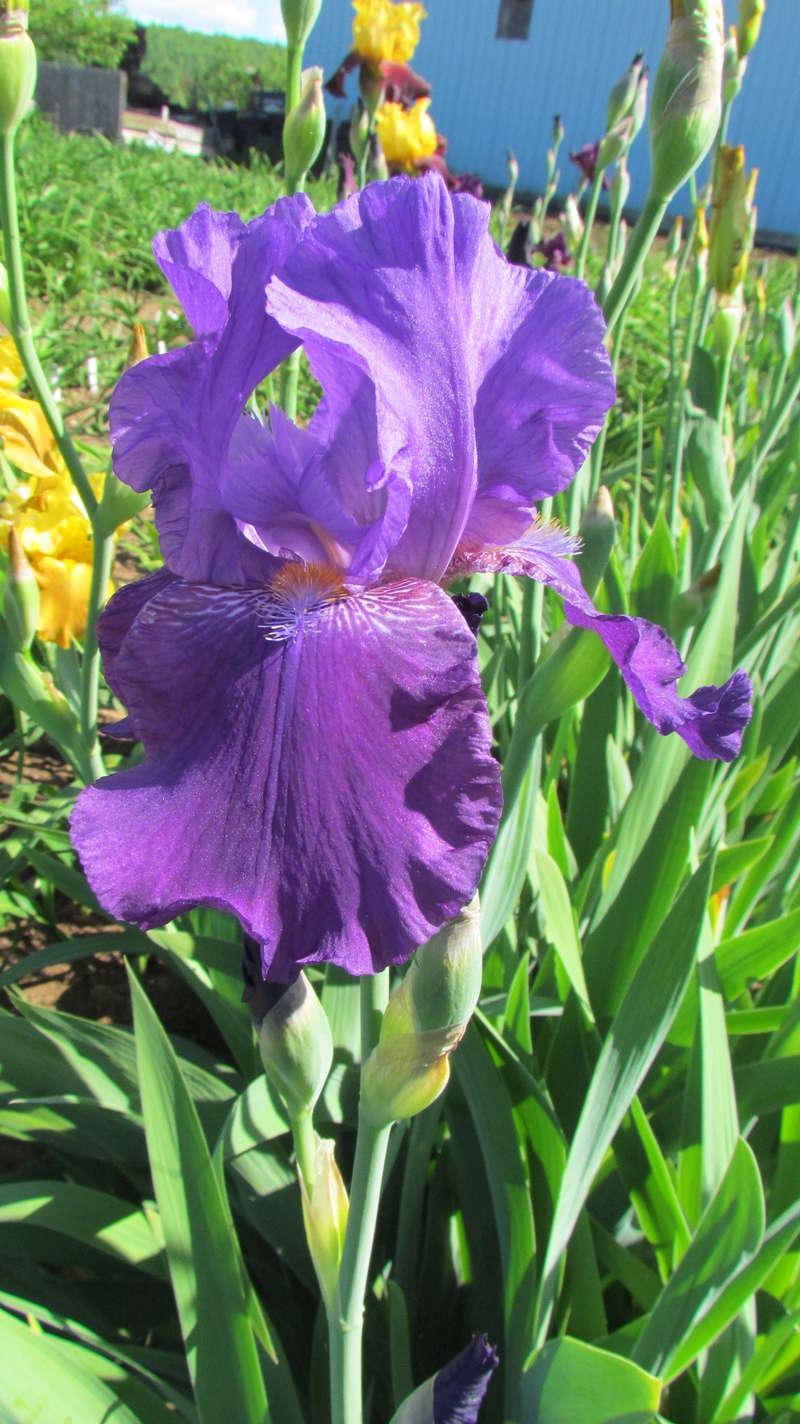 Résultats de mes hybridations d'Iris de 2011 à ... - Page 2 1203-010