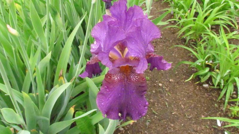 Résultats de mes hybridations d'Iris de 2011 à ... - Page 2 1203-110