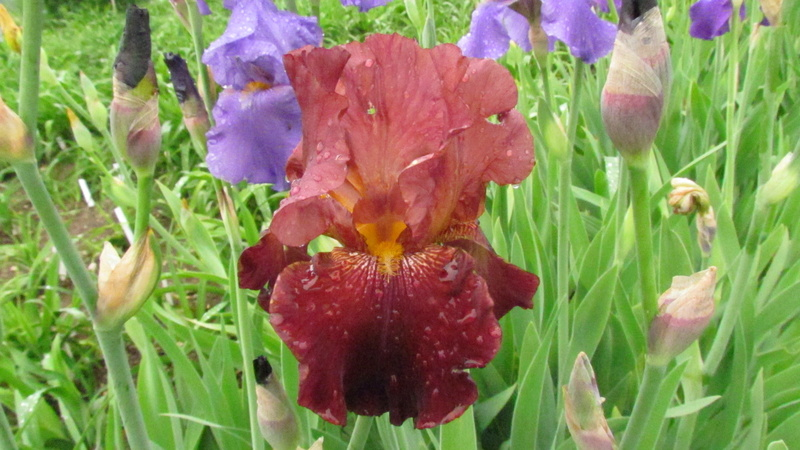 Résultats de mes hybridations d'Iris de 2011 à ... - Page 2 1203-111