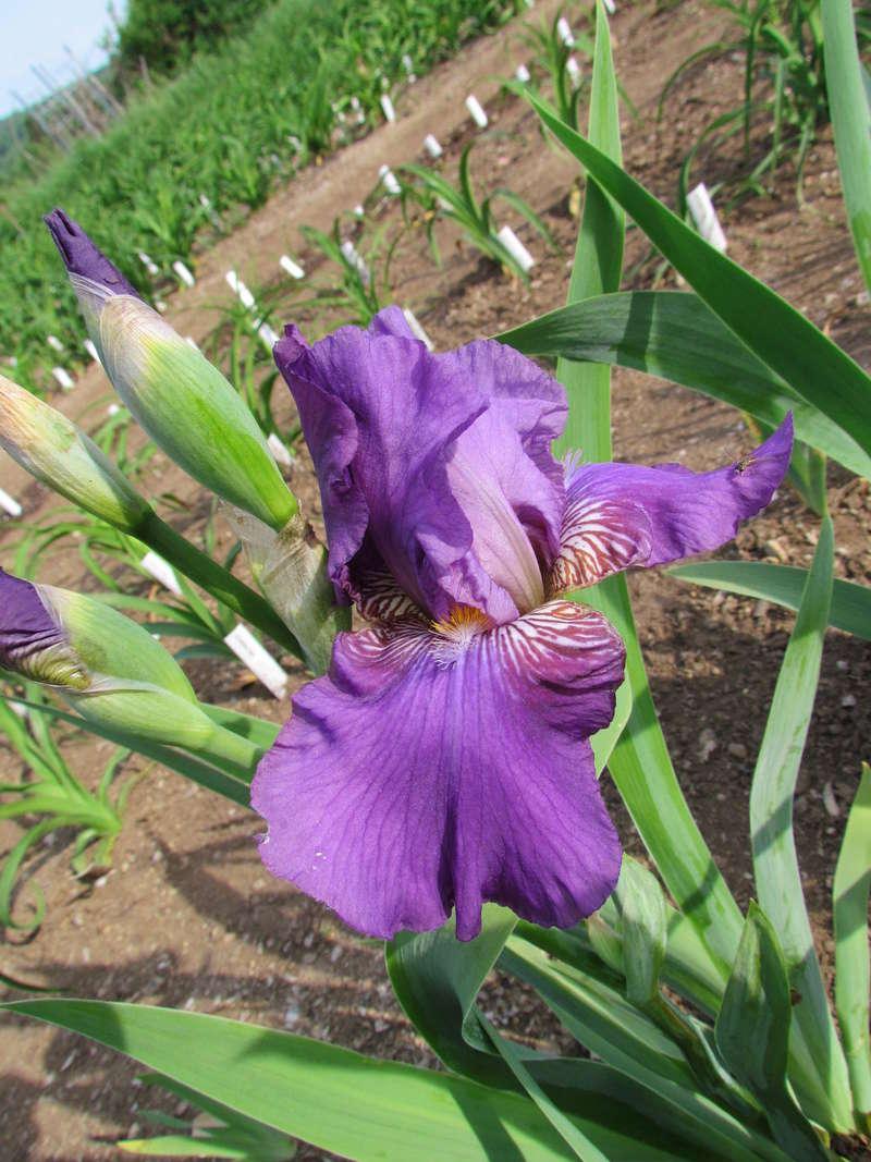 Résultats de mes hybridations d'Iris de 2011 à ... - Page 2 1203-116