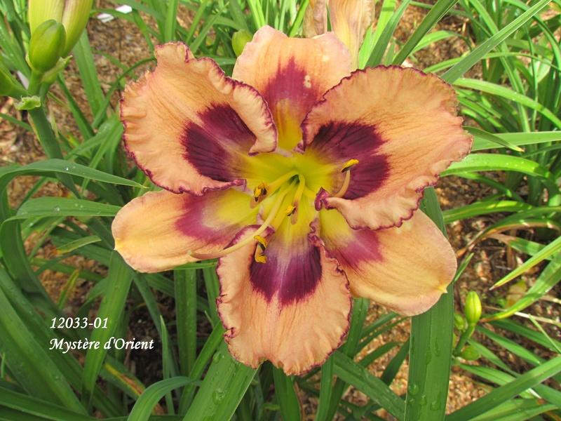 Mes hybrides: semis 2012 encore au jardin 12033-10