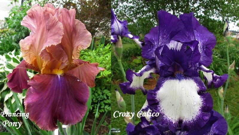 Résultats de mes hybridations d'Iris de 2011 à ... - Page 2 1203_p10