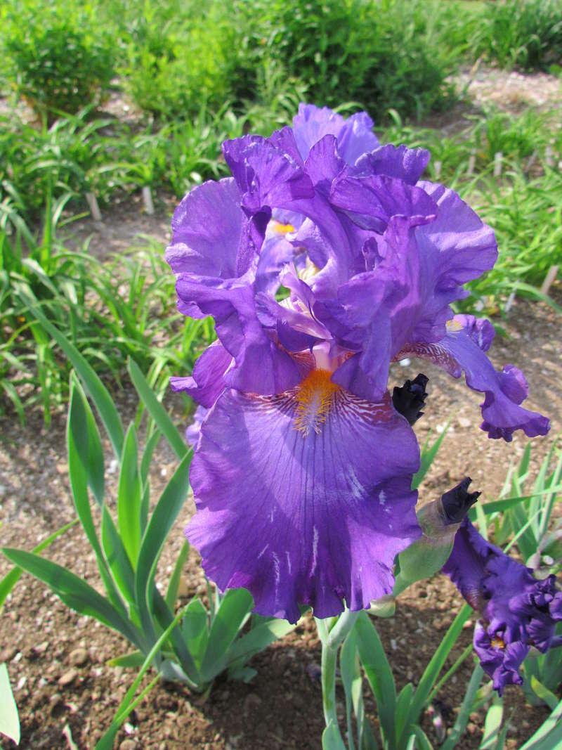 Résultats de mes hybridations d'Iris de 2011 à ... - Page 2 1204-110