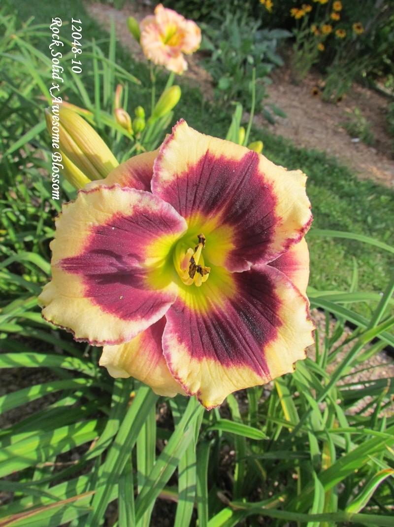 Mes hybrides: semis 2012 encore au jardin 12048-10