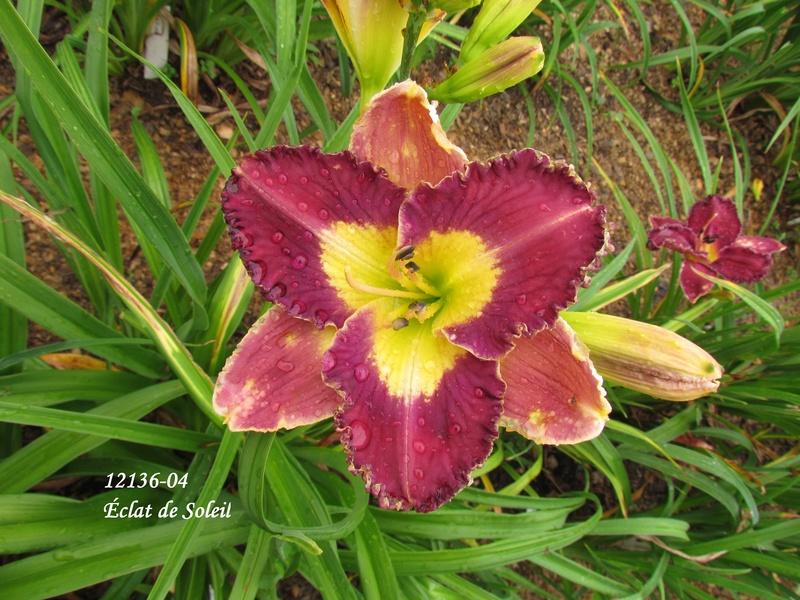Mes hybrides: semis 2012 encore au jardin 12136-10