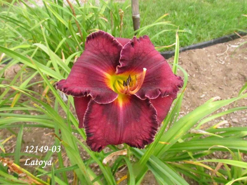 Mes hybrides: semis 2012 encore au jardin 12149-10