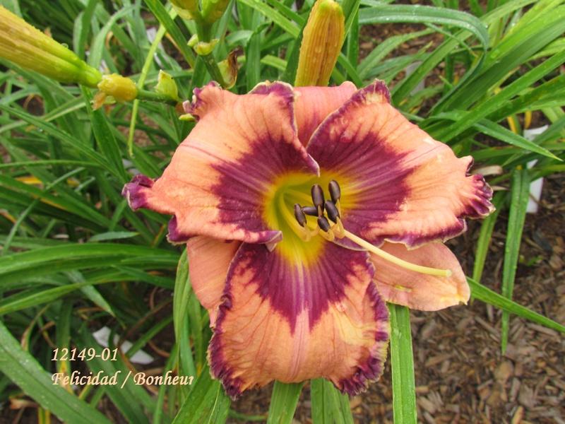 Mes hybrides: semis 2012 encore au jardin 12149-11