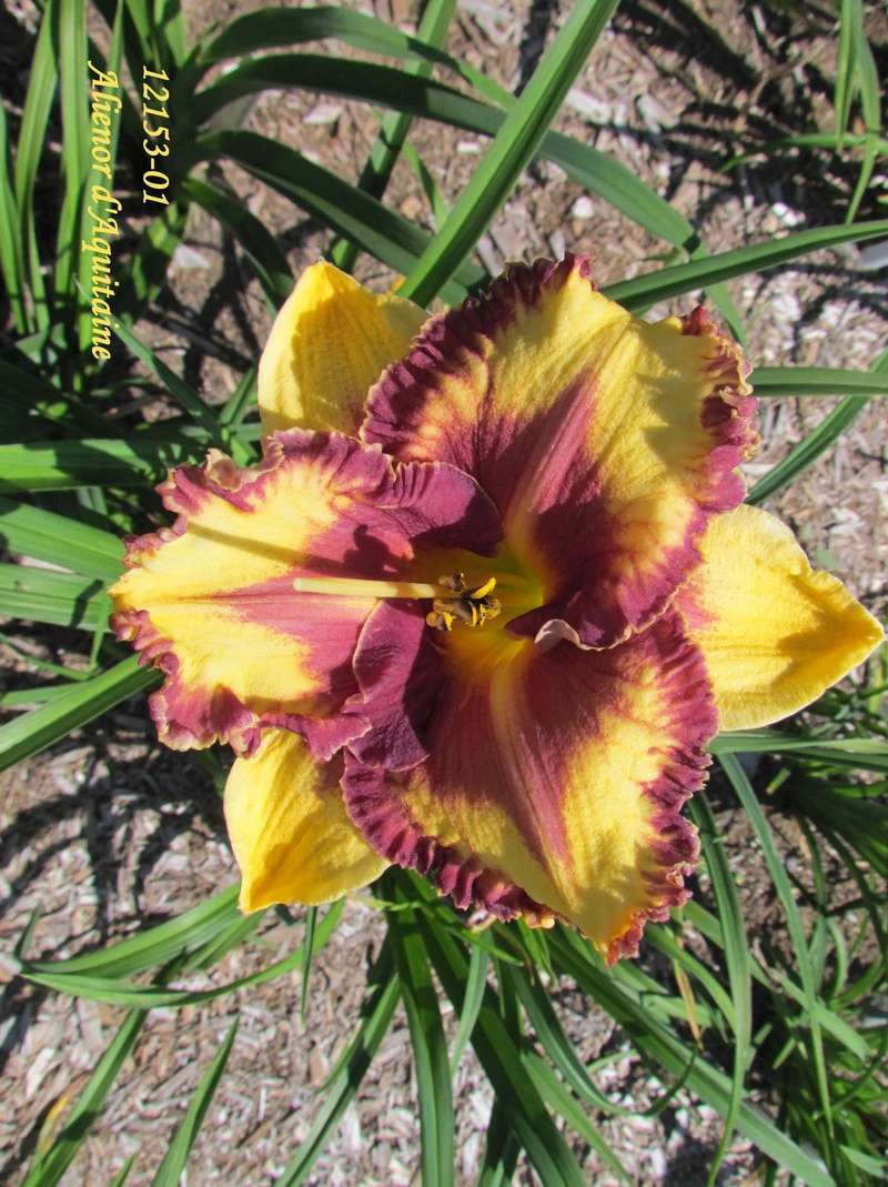 Mes hybrides: semis 2012 encore au jardin 12153-10