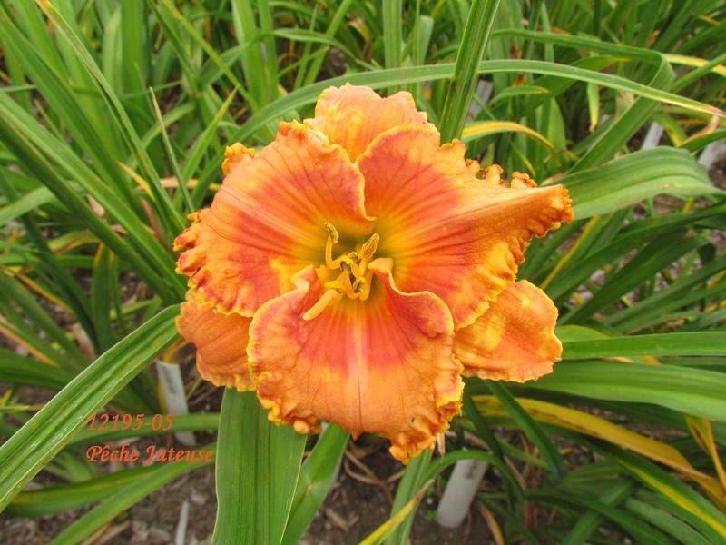 Mes hybrides: semis 2012 encore au jardin 12195-10