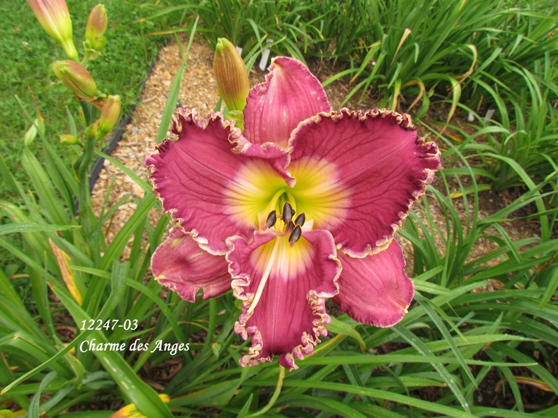Mes hybrides: semis 2012 encore au jardin 12247-10