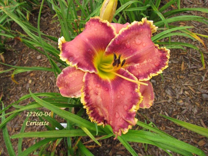 Mes hybrides: semis 2012 encore au jardin 12260-11