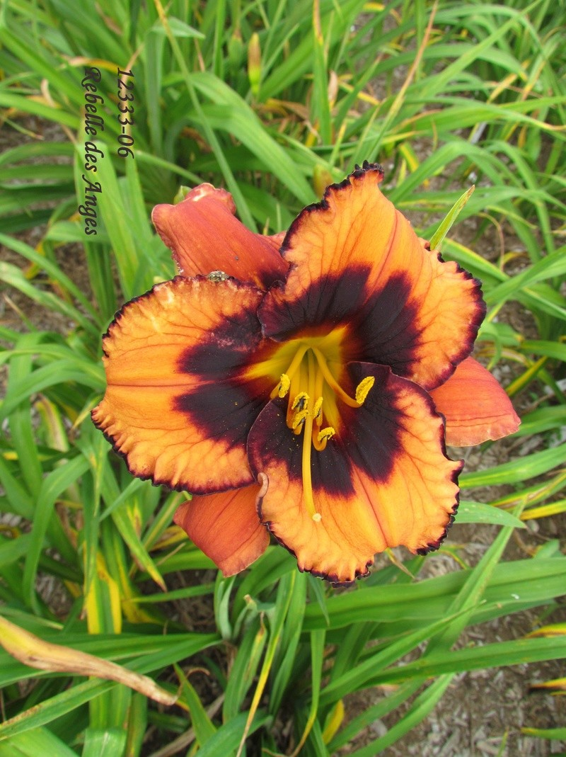 Mes hybrides: semis 2012 encore au jardin 12333-10