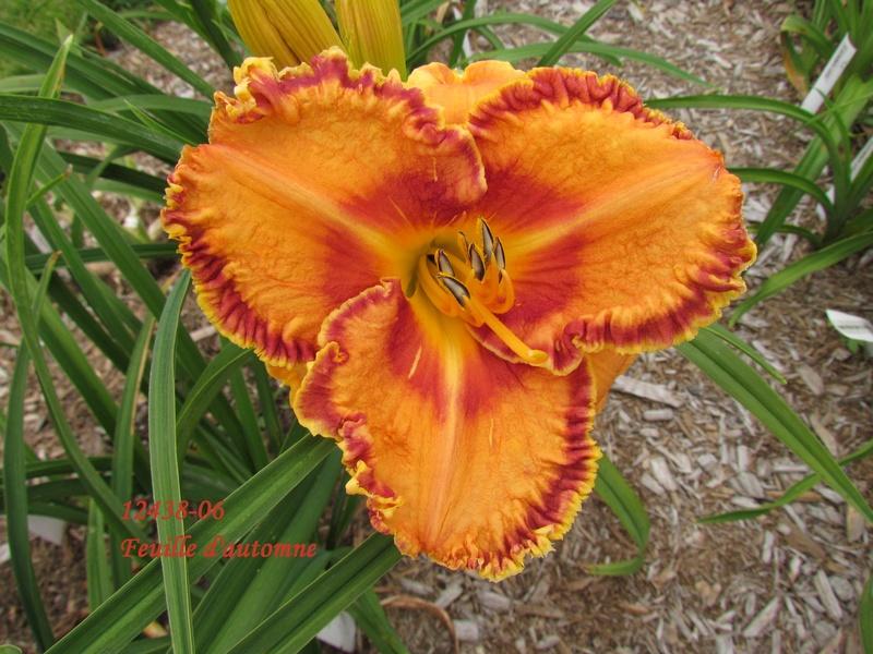 Mes hybrides: semis 2012 encore au jardin 12438-10