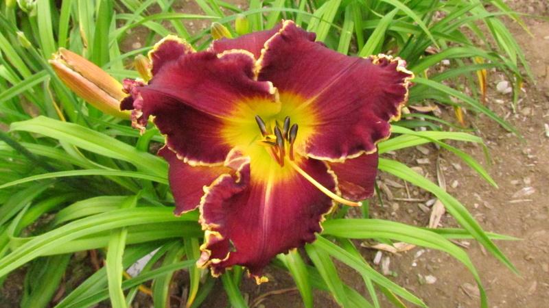 Mes hybrides: Semis 2013 au jardin 13008-10