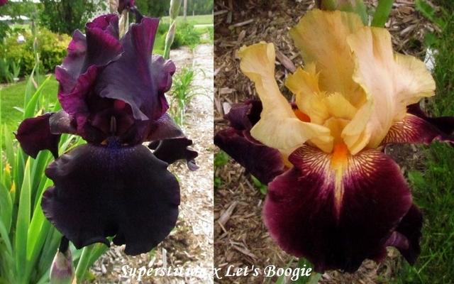 Résultats de mes hybridations d'Iris de 2011 à ... - Page 2 1301-s10