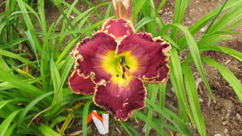 Mes hybrides: Semis 2013 au jardin 13015-10