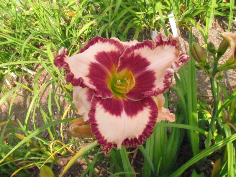 Mes hybrides: Semis 2013 au jardin 13042-10