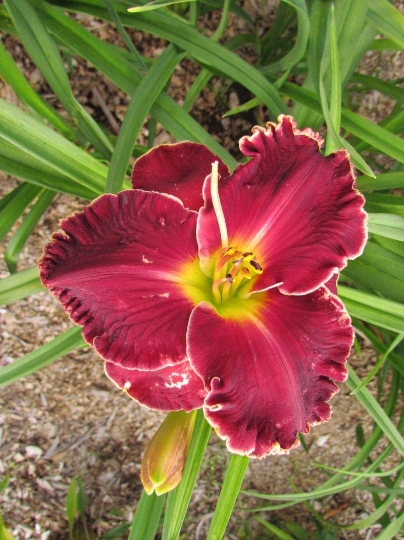Mes hybrides: Semis 2013 au jardin 13044-11