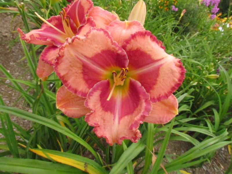Mes hybrides: Semis 2013 au jardin 13122-10
