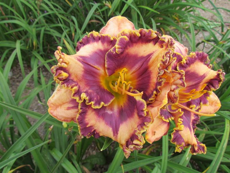 Mes hybrides: Semis 2013 au jardin 13139-10