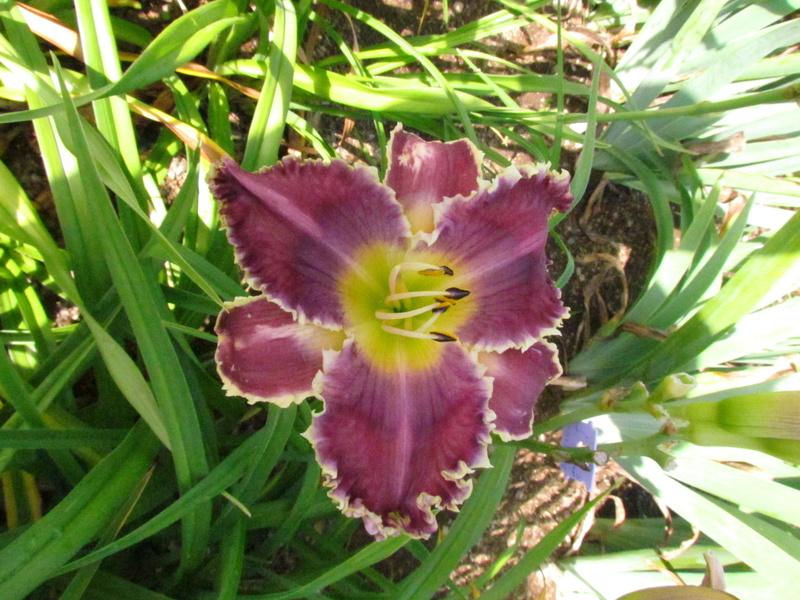 Mes hybrides: Semis 2013 au jardin 13208-10